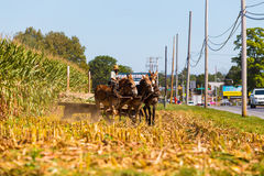 Agricoltore Using Mules di Amish Fotografie Stock