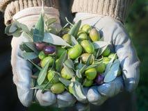 Agricoltore verde oliva, mani con il raccolto selezionato fresco delle olive Immagine Stock Libera da Diritti