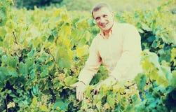 Agricoltore vicino all'uva in vigna Immagine Stock