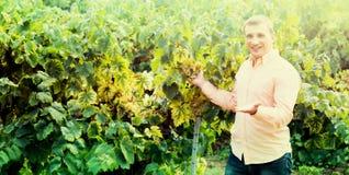 Agricoltore vicino all'uva in vigna Immagini Stock Libere da Diritti