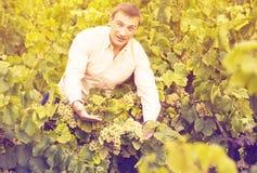 Agricoltore vicino all'uva in vigna Immagine Stock Libera da Diritti