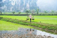 Agricoltore vietnamita che lavora al giacimento del riso Ninh Binh, Vietnam Fotografia Stock Libera da Diritti