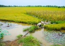 Agricoltore vietnamita che lavora al riso Immagine Stock Libera da Diritti