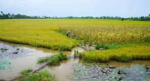 Agricoltore vietnamita che lavora al riso Fotografia Stock Libera da Diritti