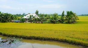 Agricoltore vietnamita che lavora al riso Fotografie Stock Libere da Diritti