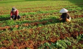 Agricoltore vietnamita che lavora all'azienda agricola di verdure Fotografia Stock