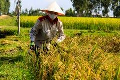 Agricoltore vietnamita che lavora nelle risaie Immagini Stock Libere da Diritti