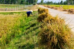 Agricoltore vietnamita che lavora nelle risaie Fotografia Stock