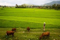 Agricoltore vietnamita che lavora nelle risaie Immagini Stock