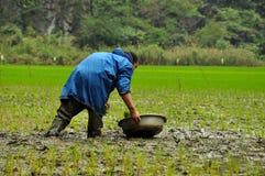 Agricoltore vietnamita che pianta riso Immagine Stock Libera da Diritti