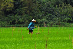 Agricoltore vietnamita che pianta riso Fotografie Stock Libere da Diritti