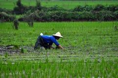Agricoltore vietnamita che pianta riso Fotografia Stock