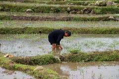 Agricoltore vietnamita che pianta riso Sapa, Vietnam Immagine Stock Libera da Diritti