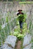 Agricoltore vietnamita che raccoglie i verdi di senape Fotografia Stock