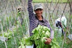 Agricoltore vietnamita che raccoglie i verdi di senape Fotografia Stock Libera da Diritti
