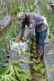 Agricoltore vietnamita che raccoglie i verdi di senape Immagini Stock