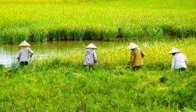 Agricoltore vietnamita che raccoglie riso sul campo Immagini Stock Libere da Diritti