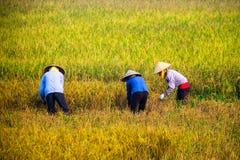Agricoltore vietnamita che raccoglie riso sul campo Fotografia Stock