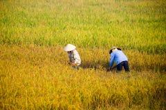 Agricoltore vietnamita che raccoglie riso sul campo Immagini Stock
