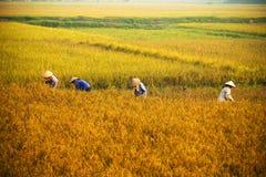 Agricoltore vietnamita che raccoglie riso sul campo Fotografia Stock Libera da Diritti