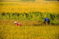 Agricoltore vietnamita che raccoglie riso sul campo Immagine Stock Libera da Diritti