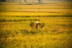 Agricoltore vietnamita che raccoglie riso sul campo Fotografie Stock Libere da Diritti