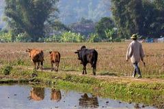 Agricoltore vietnamita e mucche Immagini Stock