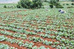 Agricoltore vietnamita sul campo Fotografie Stock