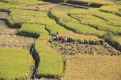 Agricoltore Working a Paddy Rice Field. Fotografia Stock Libera da Diritti