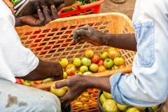 Agricoltori africani che selezionano i pomodori Industria Fotografie Stock Libere da Diritti
