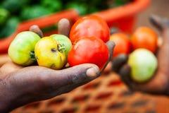 Agricoltori africani che selezionano industria dei pomodori in Africa Fotografia Stock Libera da Diritti