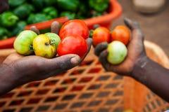 Agricoltori africani che selezionano industria dei pomodori in Africa Fotografie Stock Libere da Diritti