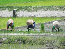 Agricoltori al giacimento del riso, Java Indonesia fotografia stock libera da diritti