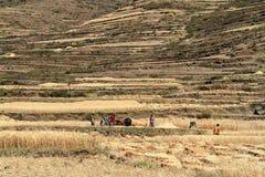 Agricoltori al raccolto dei cereali in Etiopia Immagine Stock