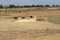 Agricoltori al raccolto dei cereali in Etiopia Immagini Stock Libere da Diritti