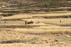Agricoltori al raccolto dei cereali in Etiopia Fotografia Stock Libera da Diritti