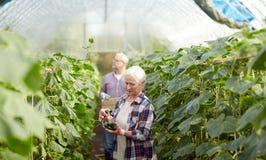Agricoltori anziani che selezionano i cetrioli alla serra dell'azienda agricola Immagine Stock