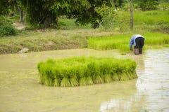 Agricoltori asiatici che raccolgono piantina di riso alla piantatura Fotografie Stock