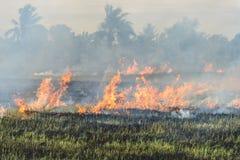 Agricoltori brucianti della stoppia della paglia quando il raccolto è completo Immagine Stock Libera da Diritti