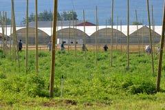 Agricoltori canadesi e luppolo crescente Immagine Stock Libera da Diritti