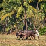 Agricoltori che arano campo agricolo nel modo tradizionale Immagini Stock Libere da Diritti