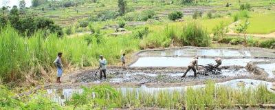 Agricoltori che arano il giacimento del riso Immagine Stock