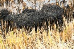 Agricoltori che bruciano paglia di riso Fotografia Stock Libera da Diritti