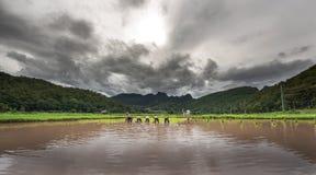 Agricoltori che coltivano il riso sotto il cielo nuvoloso Fotografia Stock
