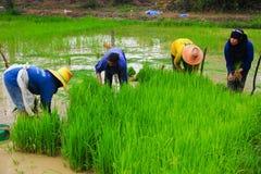 Agricoltori che coltivano riso su terreno coltivabile Immagine Stock Libera da Diritti