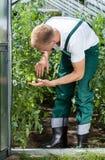 Agricoltori che guardano i suoi pomodori non maturi Fotografia Stock