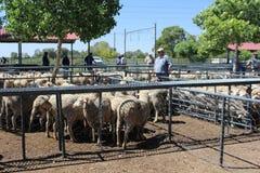 Agricoltori che guardano le pecore nelle recinzioni ad un'asta di bestiame a Bloemfontein, Sudafrica immagine stock