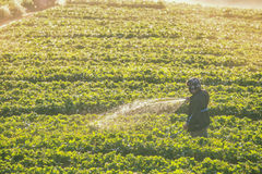 Agricoltori che innaffiano fragola Fotografia Stock