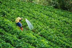Agricoltori che innaffiano nella fragola di giardino Immagine Stock Libera da Diritti