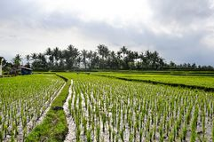 Agricoltori che lavorano alle risaie in Bali Immagini Stock